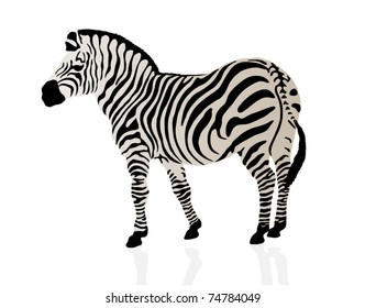 Color illustration of a zebra