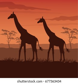 color sunset scene african landscape with silhouette giraffes standing