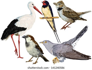 color, vector drawing of wild common bird species, Ciconia, stork, White Stork, cuckoo order of birds, species of swallow, Calandra Lark, sparrow family