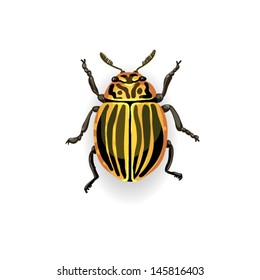 Colorado potato beetle. Colorful vector drawing of small striped beetle. Insect isolated on the white background.