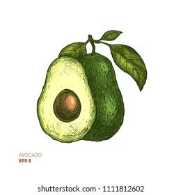 Colored avocado botanical illustration. Engraved style illustration. Packaging design. Vector illustration