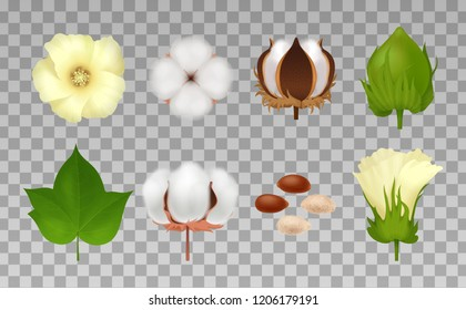 Colored cotton realistic icon set with defferent flowering stage and maturation on transporent background vector illustration
