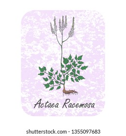 Colored Herbal Plant Actaea Racemosa on the Textured Substrate made as Rounded Rectangle. Thin Paper Substrate on the White Background. Herbal Plant with the Latin Name Cimicifuga Racemosa.