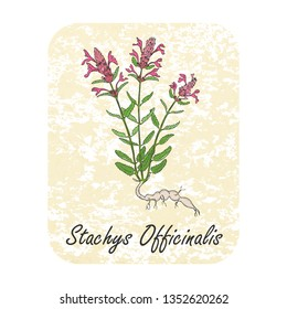Colored Herbal Plant Betony on the Textured Substrate made as Rounded Rectangle. Thin Paper Substrate on the White Background. Herbal Plant with the Latin Name Stachys Officinalis.