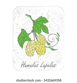 Colored Herbal Plant Hop on the Textured Substrate made as Rounded Rectangle. Thin Paper Substrate on the White Background. Herbal Plant with the Latin Name Humulus Lupulus