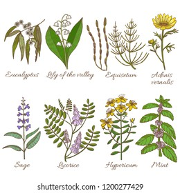 Colored Set of Medicinal Plants. Collection in Hand Drawn Style. Vector Illustration of Eucalyptus Lily of the Valley Equisetum Adonis Vernalis Sage Licorice Hypericum Mint