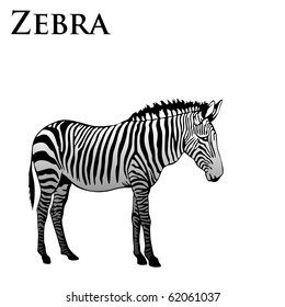 colored zebra vector illustration