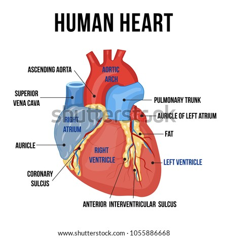 Colorful Anatomy Human Heart Descriptions Parts Stock Vector