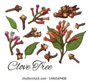 Colorful Clove Tree hand drawn set. Retro botanical line art. Medical herb and spice. Vintage raw Cloves branch with flowers, leaves and buds. Herbal vector illustration isolated on white background