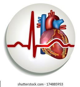 Colorful human heart rhythm icon. Human heart anatomy and normal sinus rhythm.