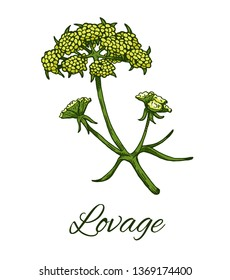 Colorful Lovage flower. Hand drawn sketch of Levisticum officinale. Medicinal herb and spice, flowers with leaves. Botanical color vector illustration isolated on white background