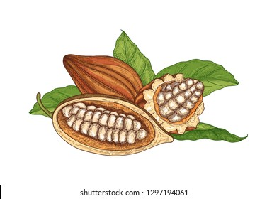 Colorful natural drawing of whole and cut ripe pods or fruits of cocoa tree with beans and leaves isolated on white background. Decorative vector illustration hand drawn in elegant antique style.