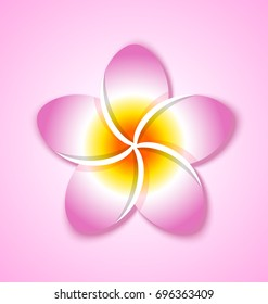 Colorful Plumeria flower placed on pink background