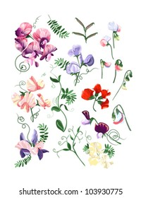 Colorful realistic set of sweet pea flowers and leafs.