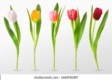 Colorful tulips. Beautiful tulip buds, spring flowers design for greeting card 8 march or mothers day, floral elements realistic vector set
