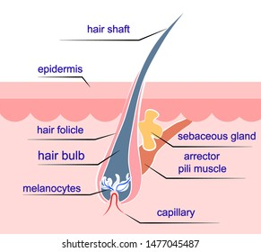 Colorful vector poster of Hair Structure. Anatomical hair building inside human body. Medical scientific scheme consists of hair bulb and folicle, sebaceous gland,  arrector pili muscle, melanocytes.