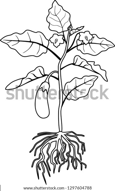 Coloring Page Eggplant Leaves Fruit Root Stock Vector ...