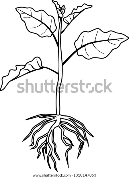 Coloring Page Eggplant Leaves Root System Stock Vector ...