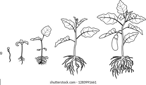 Coloring page. Life cycle of eggplant with root system. Growth stages from seeding to flowering and fruit-bearing aubergine plant