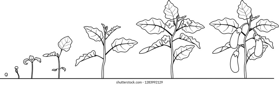 Coloring page. Life cycle of eggplant. Growth stages from seeding to flowering and fruit-bearing aubergine plant