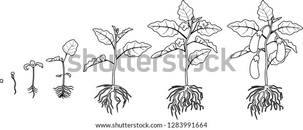 Coloring Page Life Cycle Eggplant Root Stock Vector (Royalty ...