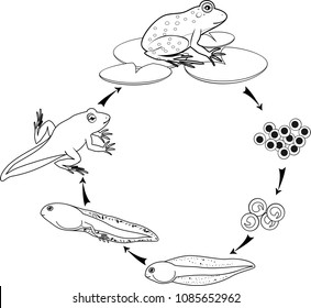Coloring page. Life cycle of frog