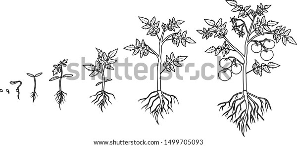 Life Cycle Coloring Page of a Seed to Plant A | Flower life cycle ... | 298x600