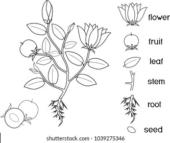 Flower parts images stock photos vectors shutterstock for Parts of a flower coloring page