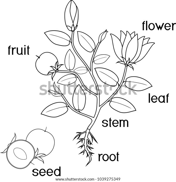 plants need coloring page | Free plant worksheet | Free seed ... | 619x600