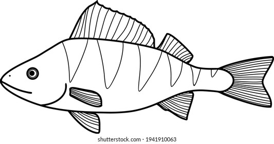 Coloring page with perch (Perca fluviatilis) freshwater fish