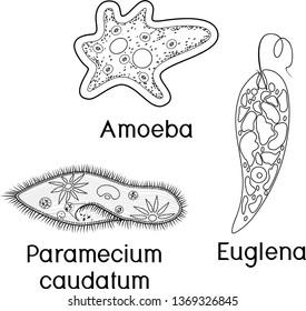 Coloring page. Set of unicellular organisms (protozoa): Paramecium caudatum, Amoeba proteus and Euglena viridis
