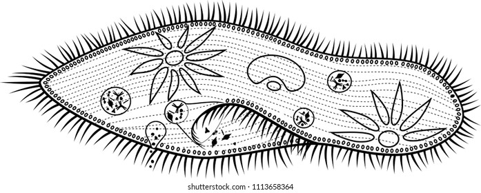 paramecium images  stock photos  u0026 vectors