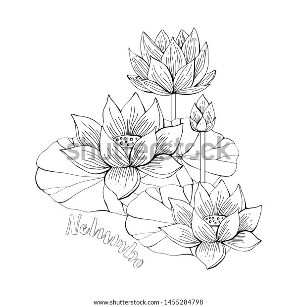 Coloring Pages Lotus Flowers Zentangle Illustrations Stock Vector Royalty Free 1455284798