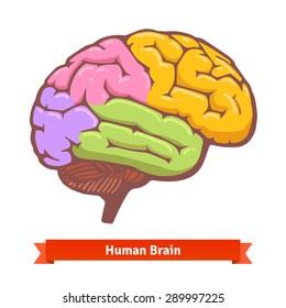 Coloured human brain diagram. Flat vector illustration.