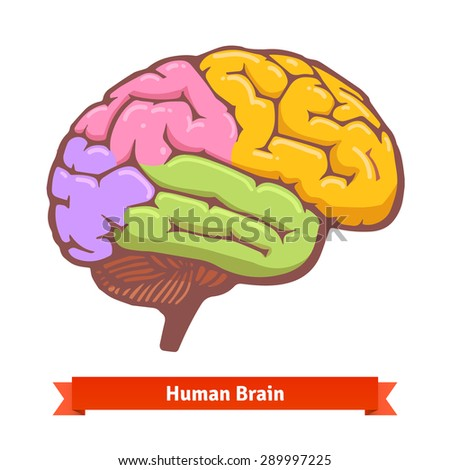 coloured human brain diagram flat vector stock vector (royalty free