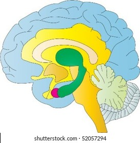 A colourful depiction of the human brain