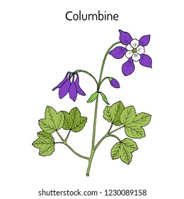 Columbine (aquilegia vulgaris), or granny's bonnet, medicinal plant. Hand drawn botanical vector illustration