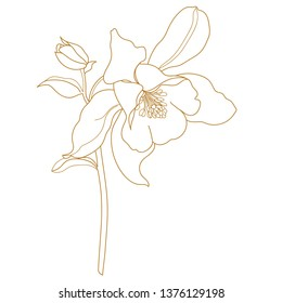 Columbine flowers.Sketch illustration of wild flower - Aquilegia vulgaris.Columbine (aquilegia vulgaris), or granny's bonnet, medicinal plant. Hand drawn botanical vector illustration