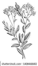 Comandra umbellata grows six to eighteen inches tall. The flowers are whitish. The leaves are thin, oblong, and pale beneath, vintage line drawing or engraving illustration.