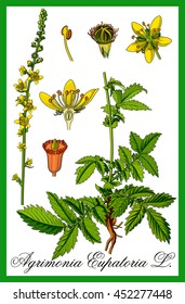Common agrimony herbal illustration