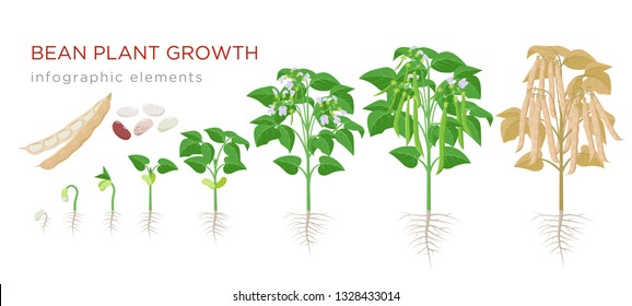 Common bean plant growth stages infographic elements in flat design. Planting process of beans from seeds sprout to ripe vegetable, plant life cycle isolated on white background, vector illustration