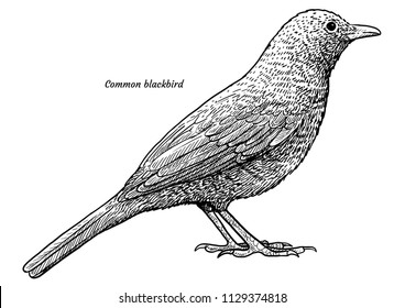 Common blackbird, Turdus merula illustration, drawing, engraving, ink, line art, vector
