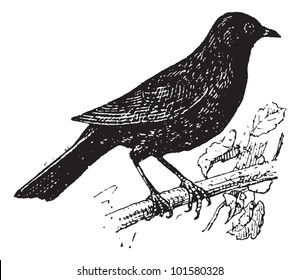 Common Blackbird or Turdus merula, Perched on a Branch, vintage engraved illustration. Dictionary of Words and Things - Larive and Fleury - 1895