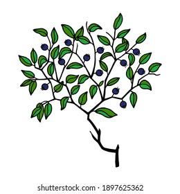 Common blueberry Vector stock illustration eps10.