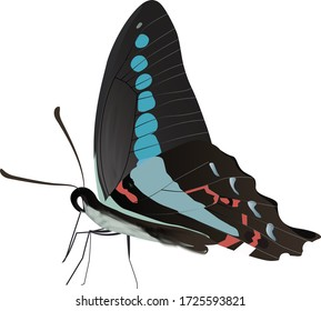 The Common Bluebottle, a fast flying Nymphalid, feeding.