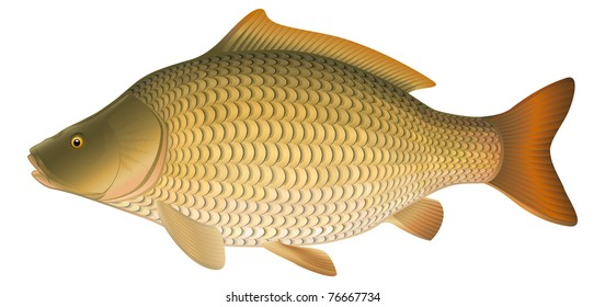 "Common Carp (Cyprinus carpio), European freshwater fish. ""Full compatible. Created with gradients."""