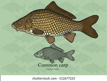 Common Carp. Vector illustration with refined details and optimized stroke that allows the image to be used in small sizes (in packaging design, decoration, educational graphics, etc.)
