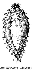 Common Carpet Beetle Larva is a small grayish or black beetle belonging to the order Coleoptera, vintage line drawing or engraving illustration.