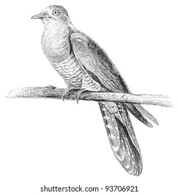 Common Cuckoo (Cuculus canorus) / vintage illustration from Meyers Konversations-Lexikon 1897