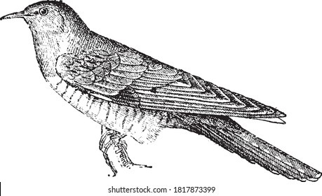 Common cuckoo, From the Dictionary of Word and Things, 1888.